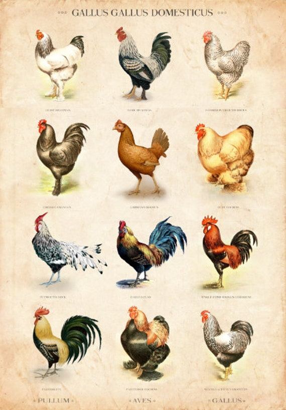 Vintage chicken breed chart limited edition art print etsy