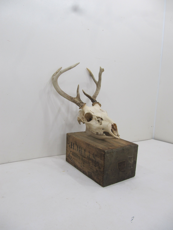 Vintage Deer Skull Real Deer Skull Rustic Decor Weathered Skull Skull With Horns Wall Hanging