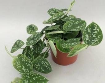 Zz Plant Propagation