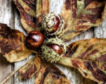 Nature Photography, Conkers, Autumn Leaves, Fall, Horse Chestnut, Rustic, Wall Art, Home Decor.