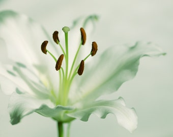 Nature Photography, White Lily, Flower, Giclee print, Home Decor.