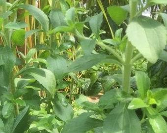 "Stevia Sweet Leaf plant 6/"" Tall Ship in 3/"" Pot"