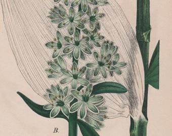 White Hellebore, Botanical Print, Plant Illustration, 1880 Antique Print, Veratrum lobenianum, Vintage Lithograph, Botany Print