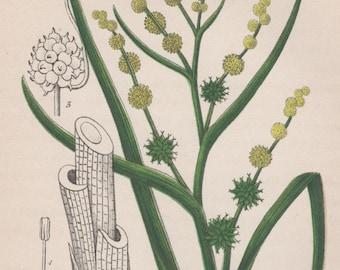1880 Botanical Print, Aquatic Plant Illustration, Antique Print, Sparganium erectum ramosum, Bur-reed, Vintage Lithograph, Botany Print