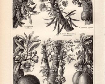 1899 Antique Botanical Print, Tree Fruits, Stammfrüchtler, Tropical Plants, Amazon Rainforest, Botany Illustration, Vintage Lithograph