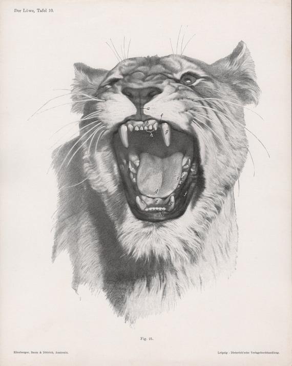 1922 Lion Anatomy Prints Feline Illustrations Lion Head | Etsy