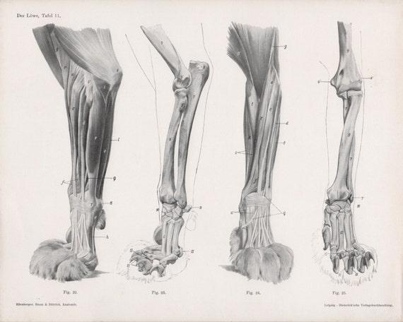 1922 Lion Anatomy Print Feline Illustration Lion Legs Paws | Etsy