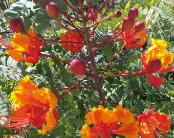 Pride of Barbados, 2 to 3 Gallon Size,  Mexican Bird of Paradise, Rooted Plant, beautiful multicolor Red, Yellow, Orange flowers, low water!
