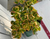 Crassula Sunset, JADE plant, Green with Yellow Coloring, Healthy Rooted Plant, Mounding With Yellow 5-star flowers