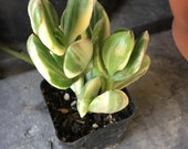 Variegated Jade Crasulla ovata, Green and White with Pink, Live Rooted Succulent, Gorgeous and various sizes, Sturdy, Rooted and Healthy