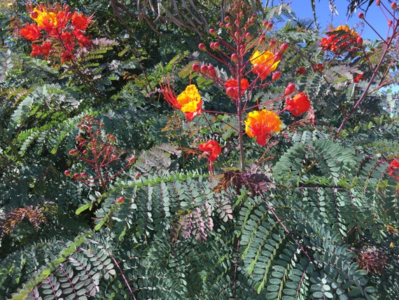 Starter Plant Pride Of Barbados Tree Sapling Shrub One 1 Etsy