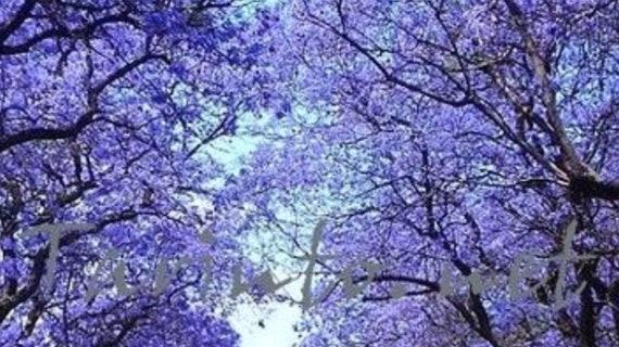 Seeds Jacaranda Tree Beautiful Lavender Blooms Set Of 30 Etsy