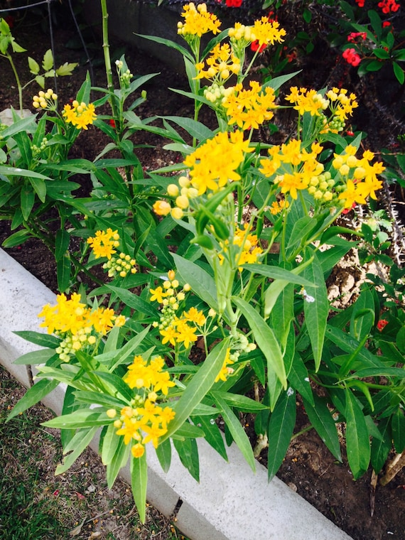 Red Butterfly Milkweed Asclepias Curassavica Red: SEEDS Butterfly Milkweed 4 Colors Perennial To 3' Tall X