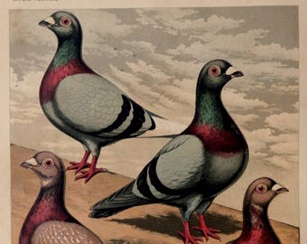 Antique print.1878.PIGEONS.139 year old print.Chromolithograph.Old pigeon print.J.W.Ludlow.10.5x8.2 inches or 27x21 cm.Vintage poster.