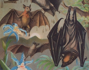 1880.Antique print.Johnson's Household Book Nature.Lithograph.Animal Kingdom.BATS·Common·Vampire·Fruit ...140 year old .9.5x7 ins.24x18 cm