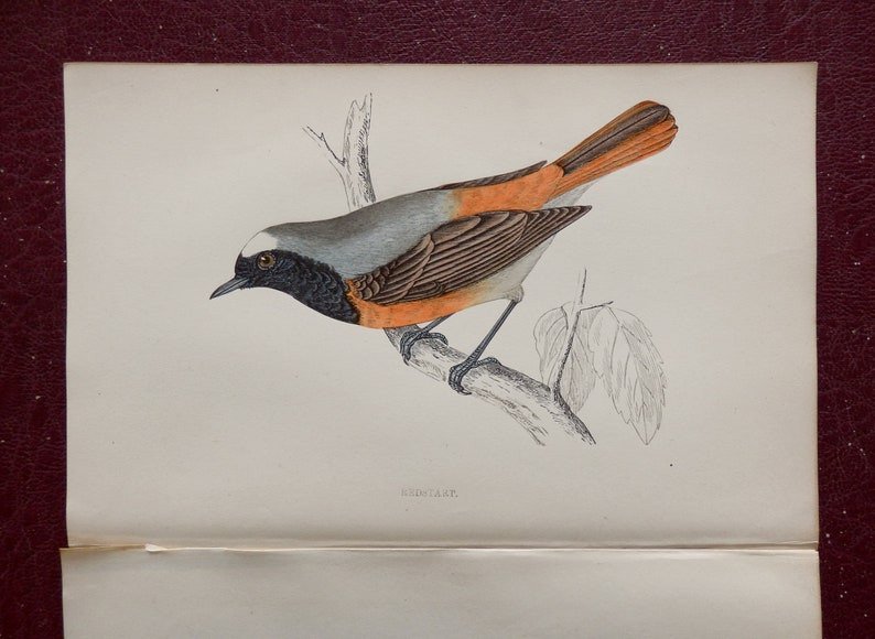 1880.Small colored engraving.British Birds.Redstart.Paseriformes.Bird prints for framing.140 year old print.7x4.7 ins or 18x12 cm.