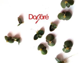10 x Tiny Mother of Thousands Plantlets. Succulents/ Crassula/ Kalanchoe/ Bryophyllum / Mexican Hat / Devil's Backbone / House Plant Seeds