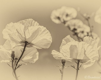 Poppy print, White Poppy, Sepia poppies, Flower photograph, Nature photography, floral picture, poppy picture, flower picture,