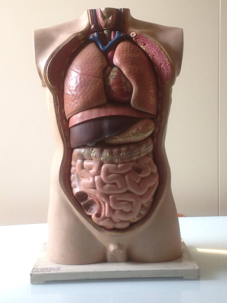 Human Body Male Bust Educational Model Anatomy Class Etsy