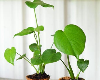 "Monstera deliciosa, Fast Growing Tropical Fruit Vine,  Live Plant Ships in 100% Biodegradable 4"" Coconut Fiber Planter"