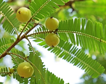 "Amla Indian Gooseberry (Phyllanthus emblica), Live Plant in 4"" Earth-Friendly Biodegradable Coconut Fiber Pot"