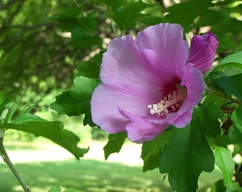 Cistus Abs- Essential Oil (Rose Of Sharon)  High quality Essential Oil Organic