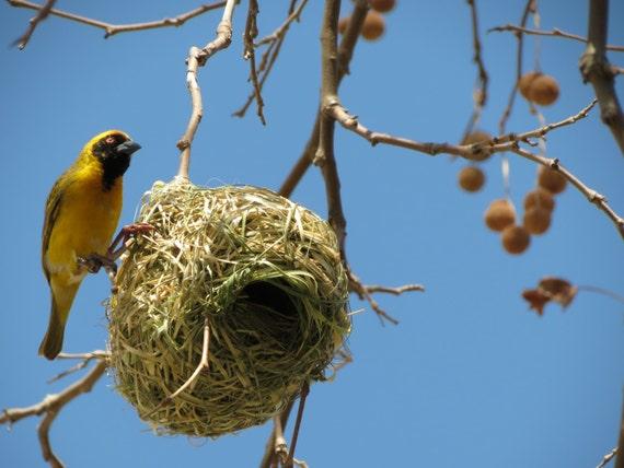 Southern Masked Weaver 1 Digital Photo For Download Etsy