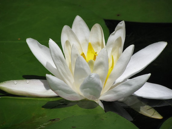 Lotus Flower Photography Water Lily Peace Meditation Zen Etsy