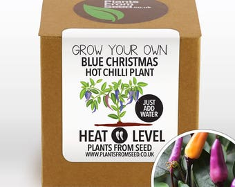 SALE!!! - Grow Your Own Blue Christmas Chilli Plant Kit