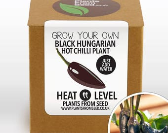 CHRISTMAS SALE!!! - Grow Your Own Black Hungarian Chilli Plant Kit