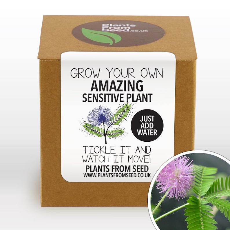 CHRISTMAS SALE  Grow Your Own Sensitive Plant Kit image 0