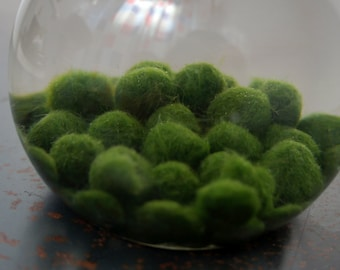 Single Marimo Moss Ball