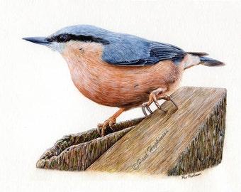 "Watercolour Bird Print, Nuthatch, Illustration Print, Wildlife, Art Giclee Garden Birds, 7""x5"""