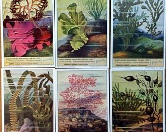SEAWEED Coral Marine Life Ocean 1953 Liebig Trade Cards Vintage French Belgium Advertising Card  LG15