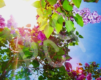 Sticker Image of Rays of Sunshine Through Blooming Lilac Tree