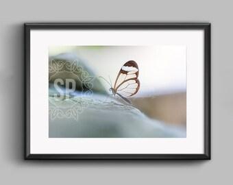 Glasswing fine art photographic print. 20 x 30 cm.