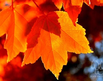 Two Fall Leaves, orange glow, backlit by the autumn afternoon sun (fine art photography)