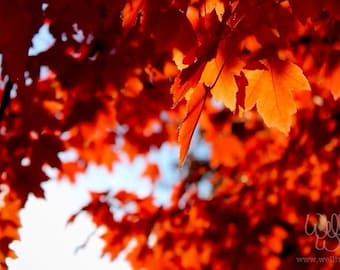 Brilliant fall leaves, backlit by the autumn afternoon sun (fine art photography)