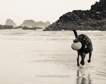 Labrador/ Oregon Beach / Animal Photograph / Dog / Nature