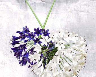 Crepe Paper Agapanthus Flower / Lily of the Nile / African Lily