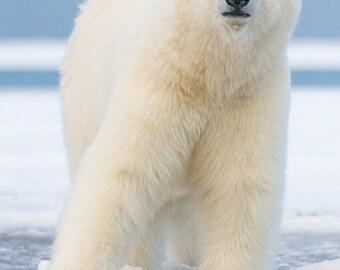 Polar Bear on Ice Float (Art Prints available in multiple sizes)