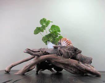 Giant 8 Inch Tiger Nautilus Shell + Driftwood Sculptural Planter, Beach Shell Planter, Driftwood Planter, Driftwood Sculpture, Driftwood Art