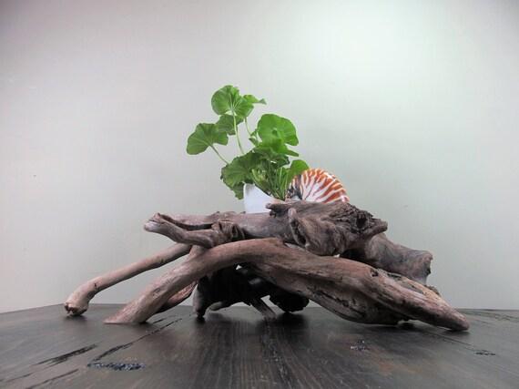 design de qualité f348b 23cdb Coquille de nautile tigre géant 8 pouces + sculpturale jardinière en bois  flotté, plage Shell jardinière, jardinière en bois flotté, Sculpture en  bois ...