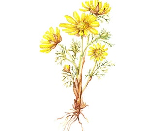 Adonis Vernalis Floral Botanical Print Illustration Watercolor Garden Spring Home Decor Yellow Green Handmade