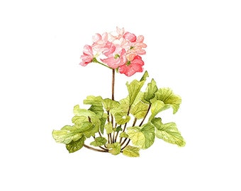 Primula Obconica Floral Botanical Print Illustration Watercolor Garden Spring Home Decor Pink Green Handmade