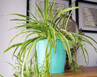 House Plant, Spider Plant, Indoor Plants, Easy Care Plant, Live Plants, Tropical Plants, Air Purifying Plant, Housewarming Gift, Houseplant