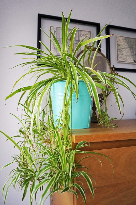 House Plant Spider Plant Indoor Plants Easy Care Plant Etsy