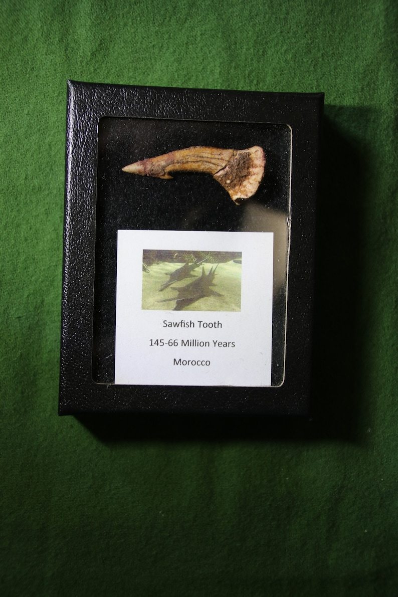 Morocco Fossil  Sawfish Tooth