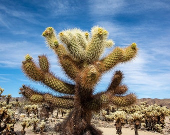 Cholla Cactus in Joshua Tree National Park, National Park Art, desert art, desert photo, desert print, california art, california decor