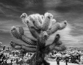 Cholla Cactus in Joshua Tree National Park, california park, national parks, black and white decor, desert art, desert decor, desert photo